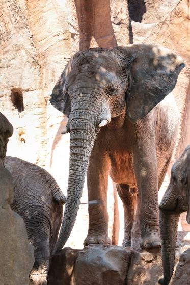 Bioparc - Elephant