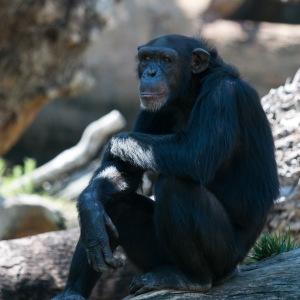 Bioparc - chimpanzé