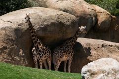 Bioparc - Girafe
