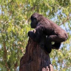 Bioparc - Gorille
