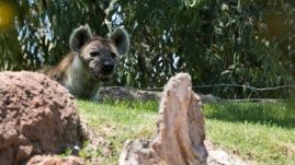 Bioparc - Hyène