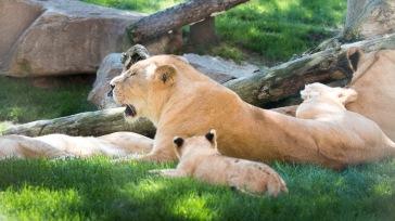 Bioparc - Lion