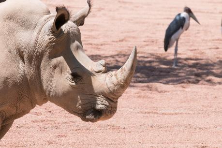 Bioparc - Rhinocéros