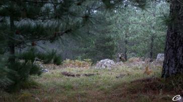 Face à face avec un mouflon